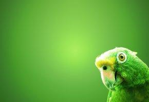Обои Зеленый попугай, зеленый фон, птица, клюв