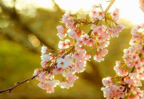 Обои сакура, весна, природа, ветвь, солнечный, свет