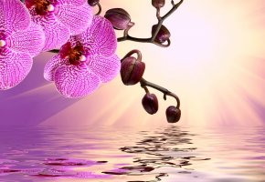���� orchid, pink, water, reflection, flowers, sunshine, beautiful, �������, �����