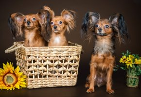 Обои собаки, чихуахуа, цветы