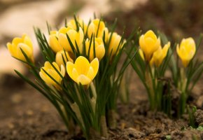 Обои земля, желтые, трава, Крокусы, первоцвет, весна