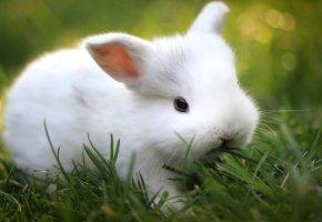 Обои кролик, белый, газон, макро, трава