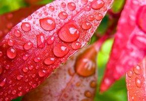 Обои листья, красные, капли, влага