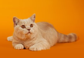 Обои Кот, кошка, рыжий, оранжевый фон, глаза, лапы, усы