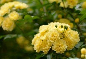 Обои цветущие деревья, кустарники, бутоны, листья