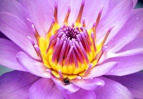 Обои цветок, лепестки, пчела, насекомое, природа