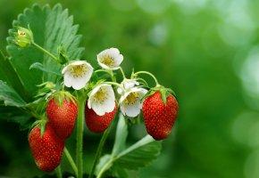 Обои макро, весна, клубника, красная, цветы