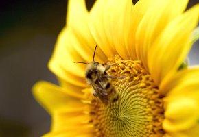 Обои Пчела, цветок, подсолнух, лапки, усы, мед