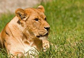 Обои львица, кошка, трава, отдых, солнце