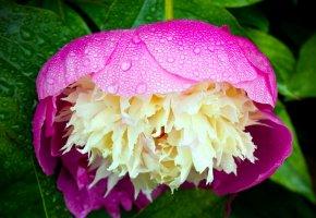 Обои пион, утро, росинки, макро, flower, peony, капли