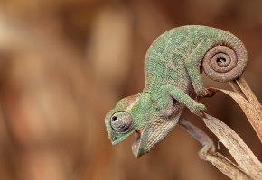 Обои Хамелеон, сидит, смотрит, хвост, глаз, чешуя