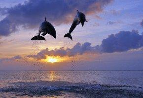 Обои дельфины, море, солнце, прыжок, брызги, закат