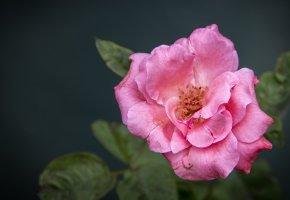 Обои цветок, роза, розовая, лепестки, бутон