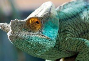 Обои хамелеон, глаз, цвет, пресмыкающееся