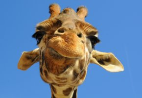 Обои жираф, морда, уши, небо