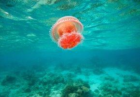 Обои медуза, море, филиппины, яркая, течение