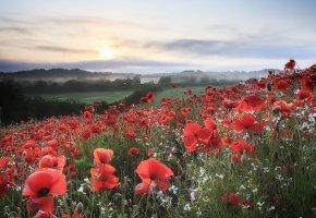 Обои маки, красные, поле, утро, пейзаж