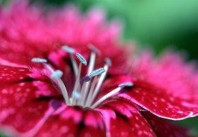 Обои малиновый, лепестки, гвоздика, яркий, розовый, макро, цветок