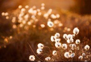 Обои закат, трава, пух, поле