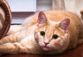 Обои кот, окрас, глаза, кошка, рыжий, усы