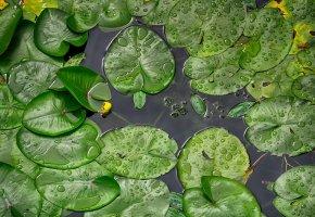 Обои зелень, лист, вода, кувшинки