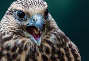 Обои клюв, язык, глаза, перья, голова, крылья, птицы
