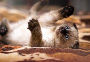 Обои котенок, лапы, глаза, усы, рот, уши, играется