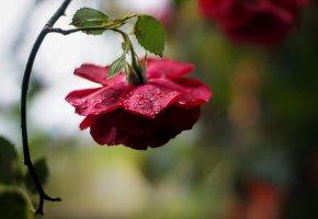 Обои цветок, роза, бутон, листья