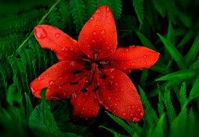 Обои лилия, цветок, флора, зелень