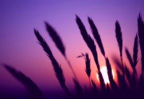 Обои закат, колосья, вечер, солнце, цвета