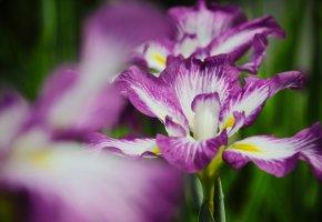 Обои цветок, ирис, капельки, росинки