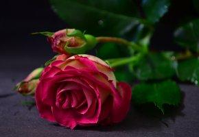 Обои цветок, роза, бутоны