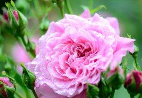 Обои цветок, роза, цветение, капельки, росинки