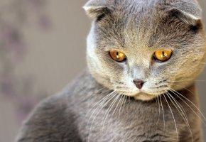 Обои серый, кошка, взгляд, кот