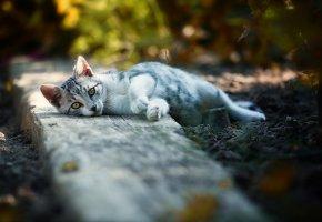 Обои кошка, уши, взгляд, отдыхает, лапы