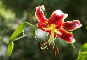 Обои лилии, цветение, лето, пестик, бутоны