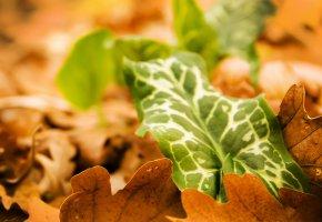 Обои листья, macro, nature, листва, макро, осень