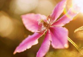 Обои цветок, сиреневый, климатис, макро, лето