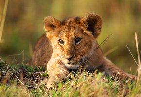 Обои животное, природа, львенок, лапы