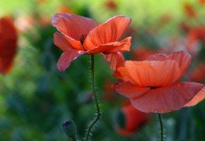 Обои поле, цветы, маки, красные