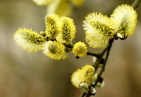 Обои верба, ветка, весна, желтый, цветет