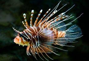 Обои рыбка, колючки, плавники, морская, крылатка