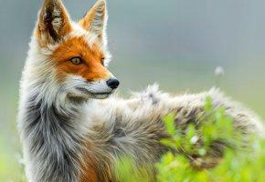 Обои лиса, природа, лисица, растение, взгляд