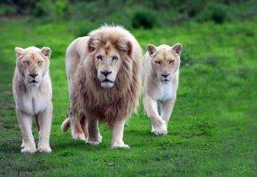 Обои грива, трава, лев, львы, семейство, тигры, царь зверей