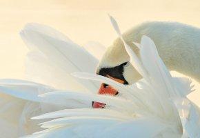 Обои лебедь, птица, перья, клюв, макро