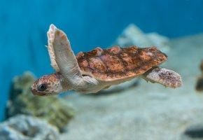 Обои черепаха, море, океан, вода, плавники, панцирь