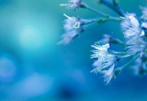 Обои голубой фон, белые цветы, бутоны, лепестки