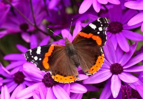 Обои бабочка, крылья, цветы, мотылек, лепестки
