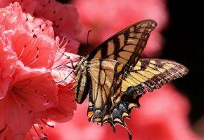 Обои цветок, бабочка, лепестки, мотылек, насекомое