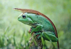Обои природа, лягушка, ящерица, земноводное